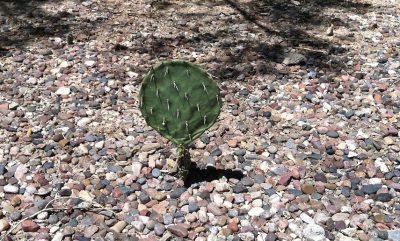 Kaktus auf Schotter